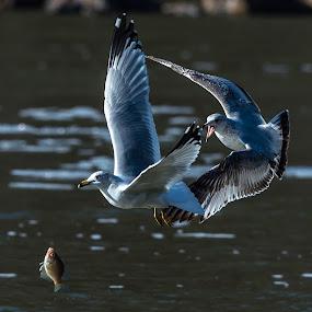 Seagull drops Fish by Mike Watts - Animals Birds ( seagull, fish, birds, bird, fly, flight,  )