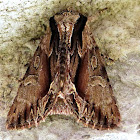 Common Hyppa Moth