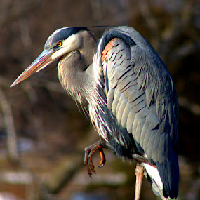 Don't Come A Step Closer by Dougetta Nuneviller - Animals Birds ( park, upclose, lake, heron, bird, macro, sky, blue, blueheron, outdoors, mean, trees, telephoto, claw, closeup )