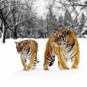 Amazed Tigers Background