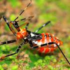 Assasin Bug Nymph