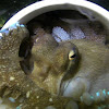 Veined / Coconut Octopus protecting Eggs