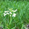 Spring cress