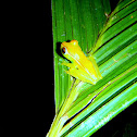 Red-Webbed Tree-Frog