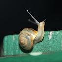 Asian Tramp Snail