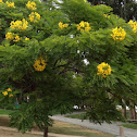 Golden Medallion Tree