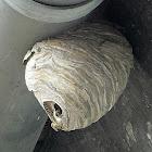Common Wasp nest / Wespennest