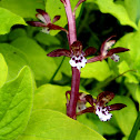Orchid- Spotted Coralroot