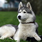 Husky HD Live Wallpaper