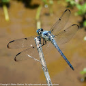 Great Blue Skimmer (young male)