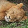 Lion (Juvenile)