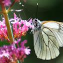 Black-veined White; Blanca del majuelo