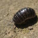 Common pill-bug