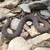 Northern water snake