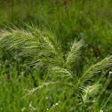 Walter's Barnyard Grass