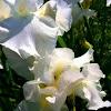 Iris: White
