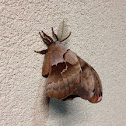 Moth the size of a bird.