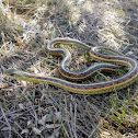 Red-sided Gartersnake