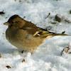 Chaffinch female