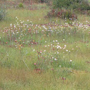 Tawny Cottongrass
