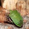 Southern Greens Stink Bug