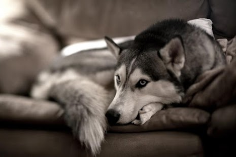 Siberian Dog Hd Wallpaper Android Apps On Google Play