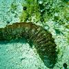 Donkey Dung Sea Cucumber