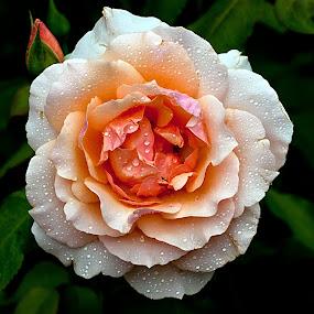 by Shalabh Sharma - Flowers Single Flower ( trial garden, rose, drops, athens, georgia, uga )