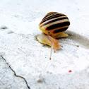 White-lipped garden snail