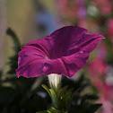 Petunia (พิทูเนีย)