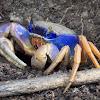 Blue Land Crab (Guaiamum)