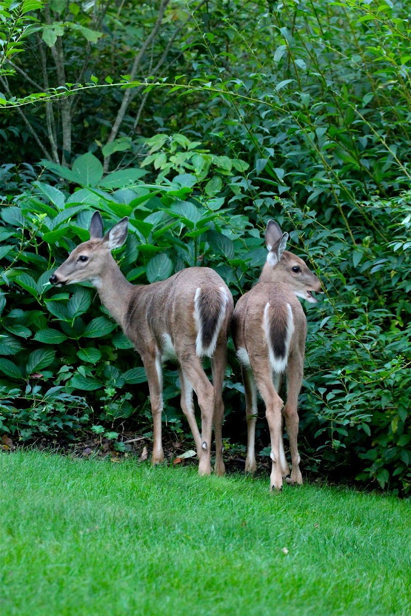 White-tailed Deer (does)