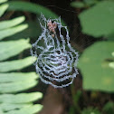 Cyclosa Spider Web