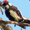 Downy Wood Pecker