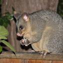 Common brushtail possum