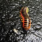 North American Milipede