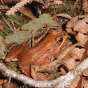 northeren red legged frog