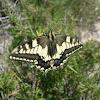 Mariposa. Butterfly