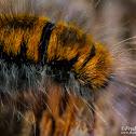 Fox Moth - Bombyx De La Ronce