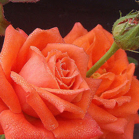 Rose with dews by Anupam De - Flowers Single Flower
