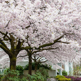 Cherry Blossoms by E.g. Orren - Nature Up Close Trees & Bushes ( tree, photo by ego, cherry blossom, vancouver,  )