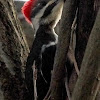 Southern pileated woodpecker, female