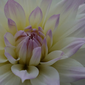 Delicate Dahlia by Norine DeSilva - Flowers Single Flower