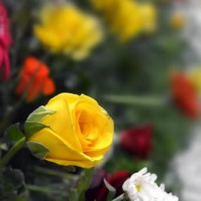 by Ganesh LK - Flowers Flower Arangements