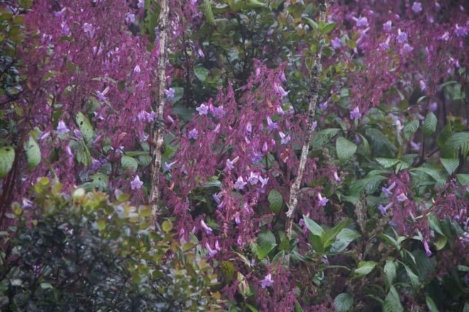 Leafy strobilanthes