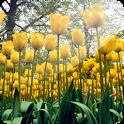 3D Tulip icon