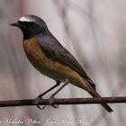 Redstart; Colirrojo Real