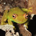 Demerara Falls Tree Frog