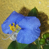 Slender Dayflower