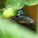 Diamondback Water Snake (Juvenile)